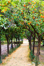 Orange Trees in Real Alcazar gardens in Seville Royalty Free Stock Photos