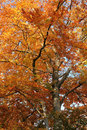 Orange treetop colorful tree top at autumn time Stock Image