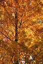 Orange treetop vibrant colored at autumn time Royalty Free Stock Photos
