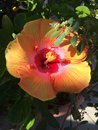 Orange tropical hibiscus flower in bloom Royalty Free Stock Photo