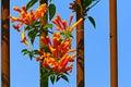 The orange trumpet creeper flowers Royalty Free Stock Photo