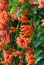 Orange trumpet flame flower fire cracker vine on the wall Stock Photos