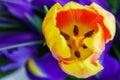 Orange tulip on the background of blue irises Royalty Free Stock Photo