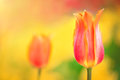 Orange tulip on the background of yellow flowers close-up. Royalty Free Stock Photo