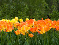 Orange tulip beautiful in the garden sort daydream Stock Photography