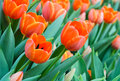 Orange tulip blossom in field Stock Photography
