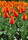 Orange tulips Royalty Free Stock Photos