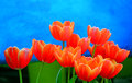 Orange tulips against blue and green background Royalty Free Stock Photo