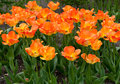 Orange tulips beautiful in the garden sort daydream Stock Photos