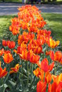 Orange tulips on the flower bed image of Stock Images