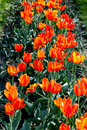 Orange tulips on the flower bed image of Royalty Free Stock Photography