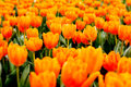 The orange tulips represent happiness Royalty Free Stock Photos