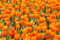 The orange tulips represent happiness Stock Photos