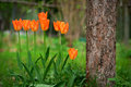 Orange tulips row of planted under apple tree Stock Photo