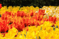 Orange tulips standing out in a field of daffodils Royalty Free Stock Photo
