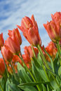 Orange Tulips under a Blue Sky Stock Photos