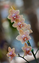 Orange vanda orchid with bokeh background Stock Images