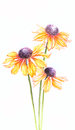 Orange Watercolor Helenium Flo...