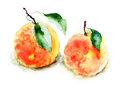 Orange watercolor illustration of fruit Royalty Free Stock Photos