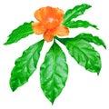 Orange Wax Rose fresh green leaves isolated on white, Pereskia Bleo flower tree top Royalty Free Stock Photo