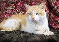 Orange and White Cat blue eye and green eye Royalty Free Stock Photo