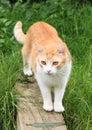 Orange and white cat Royalty Free Stock Photo