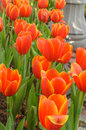 Orange and white flowers Tulip beautiful flowers in the garden n Royalty Free Stock Photo