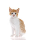 Orange and white kitten sitting on reflective surface isolated Royalty Free Stock Photo