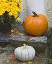Orange and white pumpkins yellow mums on porch Stock Photos