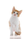 Orange and white tabby kitten isolated on white Royalty Free Stock Photo