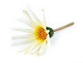 Orange white yellow and green asteraceae daisy flower against background Royalty Free Stock Photography
