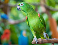 Orange-winged Amazon parrot Stock Images
