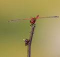 Orange winged dropwing on stick the trithemis annulata is a dragonfly of the libellulidae family they are excellent in flight and Stock Image