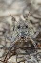 Orange winged grasshopper face Royalty Free Stock Photo