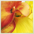Orange and yellow calla lilies Royalty Free Stock Photo