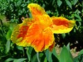 Orange and yellow canna flowers plants with green leaves Royalty Free Stock Photo