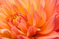 Orange, yellow dahlia Royalty Free Stock Photo