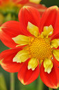 Orange and yellow dahlia flower Stock Images
