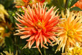 Orange and yellow dahlia flowers in garden close up of Stock Image