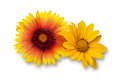 Orange and yellow dahlia flowers on a white background Stock Photography