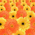 Orange and yellow daisy background Royalty Free Stock Images