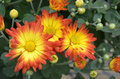 Orange and yellow fall mums a group of surrounded by buds green leaves Royalty Free Stock Photo