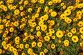 Orange Yellow Flowers, Flower ...