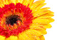 Orange yellow Gerbera extreme close up Royalty Free Stock Image