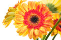 Orange yellow gerbera flower extreme close up Royalty Free Stock Image