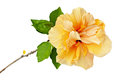Orange-yellow hibiscus flower with green leaves isolated Royalty Free Stock Photo