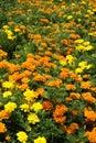 Orange and Yellow Marigolds Background Royalty Free Stock Photography