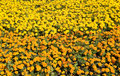 Orange and yellow marigolds big flowerbed with many of colours Stock Image