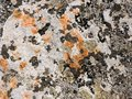 Orange and yellow round lichens on a light grey stone Royalty Free Stock Photo