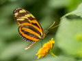 Orange and yellow striped butterfly resting on flower Royalty Free Stock Image